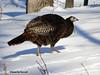 Winter Turkey (JamesEyeViewPhotography) Tags: turkey snow winter trees nature birds january