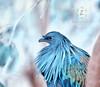 Nicobar pigeon (Zara Calista) Tags: nicobar pigeon portrait blue teal nikon nikkor