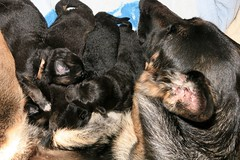 Cluster of of five (deanspic) Tags: dog pup puppies germanshepherd purebred canine new newborn growth development maturation g3x