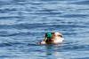 2018 01 13 - Lock and Dam 14-113.jpg (mh803) Tags: lockanddam14 duck wildlife nature waterfowl mallardduck mating iowa leclaire unitedstatesofamerica animal waterduck wild