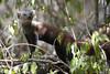 ring tailed mongoose (matt_in_a_field) Tags: eos 5d mk3 canon dslr mongoose mammal animal wildlife madagascar travel holiday nature tsingy bemaraha ringtailed