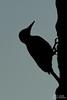 Carpintero Dominicano (..Javier Parigini) Tags: republicadominicana rd puntacana bávaro playa arena oceano mar ocean sea beach palmeras palm nikon nikkor d4 aves bird fauna pájaro sun sol javierpariginifotografiaflickr fineartphotography 200400mm f4