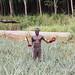 Pineapple farmer