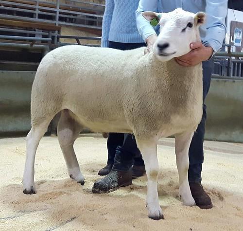 2017 Skipton 1st shearling ram