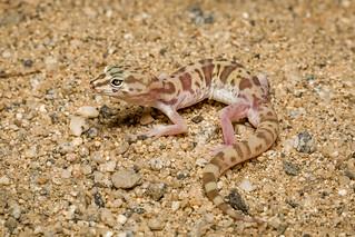 Western Banded Gecko [Coleonyx variegatus]