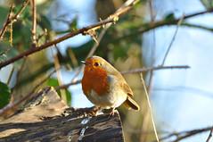 Robin (N'GOMAPHOTOGRAPHY) Tags: birds nature robin jay woodpecker shovler duck goldeneye tufty woods nuthatch rabbit coventry warwickshire