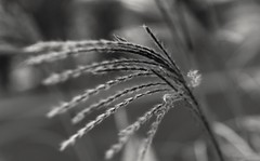 In the breeze (frankdorgathen) Tags: flora floral outdoor stadtpark essen ruhrgebiet monochrome blackandwhite focus bokeh macro makro nature