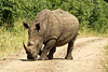 P1020528_DxO (yoda361) Tags: safari africa rhinoceros
