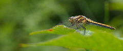 Sympetrum Danae (Visual Stripes) Tags: dragonfly odonata nature insect macro 35mmmacro 35mm mzuiko olympusepm1 mft bokeh handheld