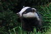Blue Eyes is back. (blootoonloon1( No to Badger Cull)) Tags: meles badger animal wildlife nature black white colours evening scotland aberdeenshire sett wildemerging