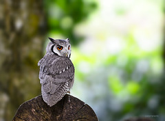 white-faced scoops owl (jeff.white18) Tags: approved scoopsowl owl bird birdofprey feathers eyes portrait prey nature woodland wood flickr