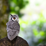 white-faced scoops owl thumbnail