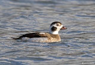 DSP01849 - Long Tailed Duck ♂ (Clangula hyemalis)