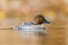 Golden-eye (Mike Veltri) Tags: ducks avian birds goldeneye divers wild gold naturephotography ontario canada