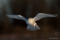 In the spotlight (Earl Reinink) Tags: bird birds wildlife animal nature outside winter light owl raptor predator flight flying earl reinink earlreinink nikon snow snowy snowyowl eyes oururdadza