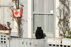 IMG_3771 (TMM Cotter) Tags: cat fence gate mailbox window curtains lace door entrance house canada flag poppy plants vines victoria bc