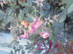 1109 (en-ri) Tags: roselline little roses sony sonysti foglie leaves
