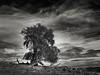 Manzanita Tree (StefanB) Tags: usa 1235mm california em5 geotag henrycoe hiking outdoor tree treescape clouds statepark manzanitatrail