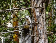 Yosemite Park Scoiattolo (fabrizio.silvani.ph) Tags: scoiattolo animale animal albero tree legno foresta forest ghianda californi yosemitepark usa unitedstates statiuniti nikon