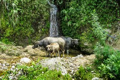 Výlet na motorce do Hoang Su Phi (zcesty) Tags: zvířata vodopád vietnam22 buvol vietnam dosvěta hàgiang vn