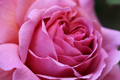 Flowers (kimsfotos) Tags: roses columbine garden red yellow blue peach white pink purple dahlia daisy gebera lily lilac peony violet birds