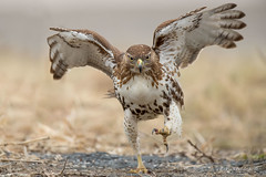 And today's exercise is... (Earl Reinink) Tags: road runner running hawk raptor predator redtailedhawk grass winter wings nature earlreinink earl reinink uuhaeuadza bird animal exercise claws eyes