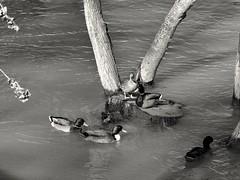 Ducks scene. (Fencejo) Tags: canon600dt3ikissx5 tamronspaf90mmf28dimacro11 blackwhitebwstreetcityblackandwitestreetphotographymonochrome zaragoza ebro ducks nature river