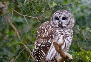 BARRED OWL (Strix varia) - Stillman Nature Center - South Barrington IL