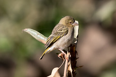 Immature Rüppel's Weaver at Wadi Darbat S24A5933 (grebberg) Tags: immature rüppelsweaver ploceusgalbula ploceus weaver bird wadidarbat dhofar oman december 2017