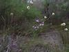 Dasypogon bromeliifolius and Thysanotus sparteus, Jandakot Regional Park, near Perth, WA, 17/11/17 (Russell Cumming) Tags: plant dasypogon dasypogonbromeliifolius dasypogonaceae thysanotus thysanotussparteus asparagaceae jandakotregionalpark perth westernaustralia