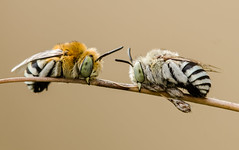 Blue banded bees (m&em2009) Tags: blue banded bees bugs insects macro nature nikon westernaustralia fantasticnature