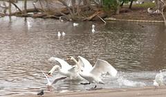 Regents Park London (Adam Swaine) Tags: swans rspb nature birds regentspark canon londonparks ponds england english mutedswans britain naturelovers animals wildlife 2018
