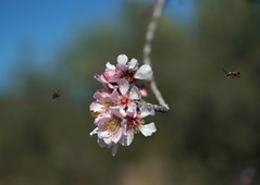 Atmeller15 (Mosseguello) Tags: floracion arboles abejas bees flowering trees