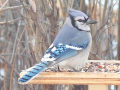 Blue jay (Cyanocitta cristata) (tigerbeatlefreak) Tags: blue jay cyanocitta cristata bird passeriformes corvidae nebraska