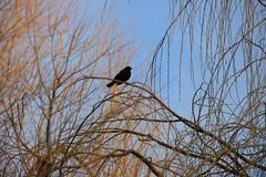 IMG_3639 (Jeff And) Tags: bird blackbird tree kenton kentonrecreationground harrow greenhill