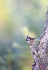 Crested tit (Mike Mckenzie8) Tags: british uk wild wildlife scotland highland cairngorm mountain winter sunrise bird pine tree scots