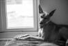 Big yawn (Ian Garfield - thanks for almost 2 million views!) Tags: ian garfield photography dogs dog fun sutton park labrador retriever whippet canon equafleece grass pet field animal
