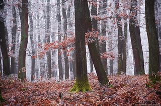 Winter Woods XVI.