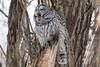 Barred Owl (Jeremy Meyer) Tags: barredowl barred owl bird wisconsin