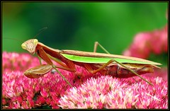 IMG_9675 Pregnant Pause 9-21-17 (arkansas traveler) Tags: prayingmantis bichos bugs insects flowers sedum zoom telephoto nature naturewatcher natureartphotography bokeh bokehlicious