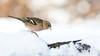 Chaffinch - Vink (Wim Boon (wimzilver)) Tags: vogel vink canoneos5dmarkiii canon300mmf4lis14ex bird nederland netherlands nature natuur snow