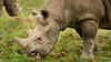 Black Rhino (S.R.Murphy) Tags: animal doncaster jan2018 yorkshiresafaripark animals zoo blackrhino rhino rhinoceros fujifilmxt2 fujifilmxf55200mm