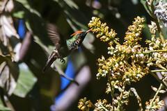 Esse daí é o beija-flor Topetinho-vermelho. Existem besouros maiores do que ele. Foi uma felicidade encontrar uma árvore onde vários deles se alimentavam ao mesmo tempo. :) ⠀ --- ENGLISH --- ⠀ That is the Frilled Coquette hummingbird. There are beetles bi (Leonardo Merçon) Tags: observacaodeaves naturephotography birdphotography beautifulnature belezasdobrasil photonature nature birding hummingbird wild fotografiadenatureza wildlifephotography ultimosrefugios mtur vidaselvagem coquette brazil birdwatching beijaflor ilovenature beautyofnature brasil birdwatch wildlife natureza frilled bird conservationphotography mothernature wildlifephototopetinhovermelhobeijaflormagníficotopetepassaroaveambienteasabicobiologiaobservacaodeavescoloridocriaturaecologiafaunaselvagemmeioambientenaturalornitologiaoviparopassarinhopenavertebradovertebratavidafrilledc