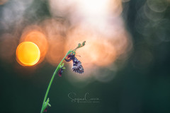Icarus (Stephen Hunt61) Tags: nature butterfly closeup flower flowers orchid orchidea orchids bokeh sunset wings details detail natural animals animal stefanocaccia