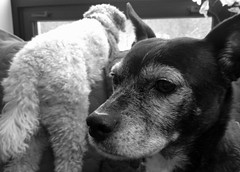 Mazie & Harry. 1 (4s) (Mega-Magpie) Tags: iphone 4s indoors pet pets harry mazie dog dogs cute funny bw black white mono monochrome