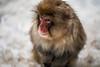 Monkey Portrait (moaan) Tags: yamanouchi nagano japan monkey snowmonkey japanesemacaque jigokudani jigokudanispa jigokudanisnowmonkeypark animal domesticanimal utata 2018 canoneos5dmarkiii ef50mmf14usm bokeh bokehphotography dof
