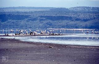 Flamingo, Pelican, Marabou, Cormorant, Grey-headed gulls. Lake Nakuru. 1976