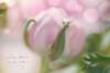 Pink Ranunculus (JMS2) Tags: flower pink ranunculus macro closeup nature bokeh
