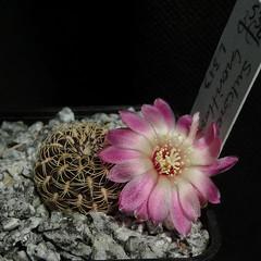 Sulcorebutia breviflora L313 '536' (Pequenos Electrodomésticos) Tags: cactus cacto flower flor sulcorebutia sulcorebutiabreviflora
