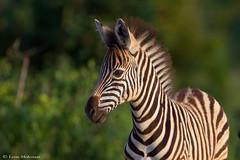 Zebra foal (leendert3) Tags: leonmolenaar southafrica krugernationalpark wildlife nature mammals burchellszebra ngc coth5 npc